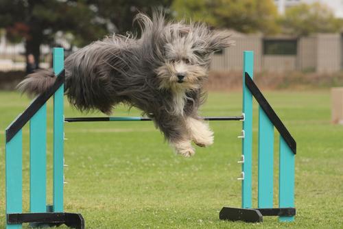 Bearded Collie (Foto: Reprodução / I Heart Dogs)