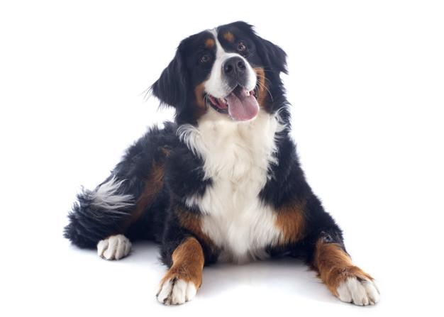 cachorros mais peludos