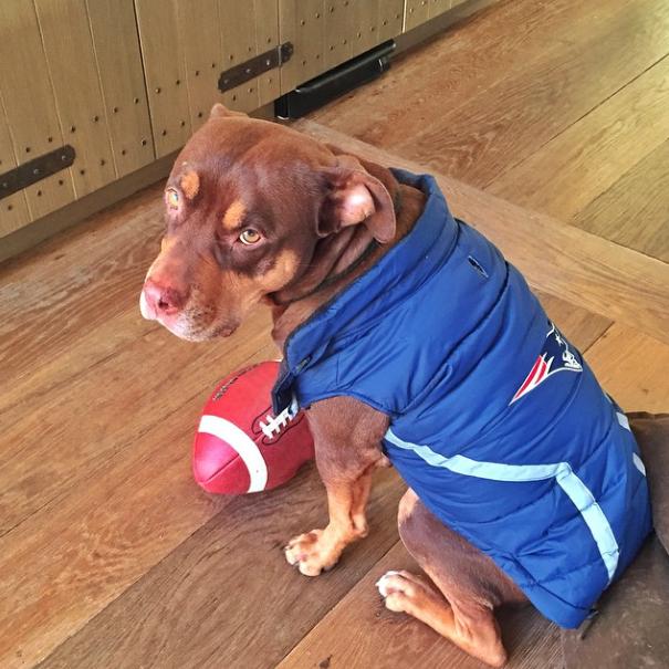 Cachorra Lua vestida para torcer pelo Patriots, time em que Tom Brady joga. (Foto: Reprodução / Instagram)