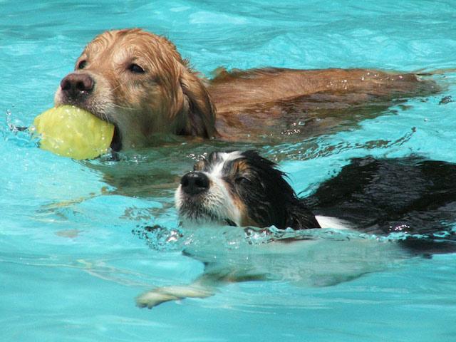 Cachorros nadando portal do dog for Cani che non vogliono fare il bagno