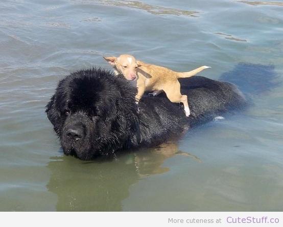 cachorro-nadando-03