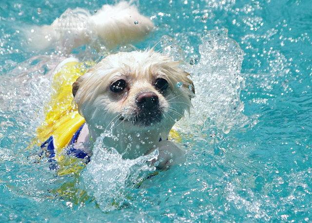 cachorro-nadando-07