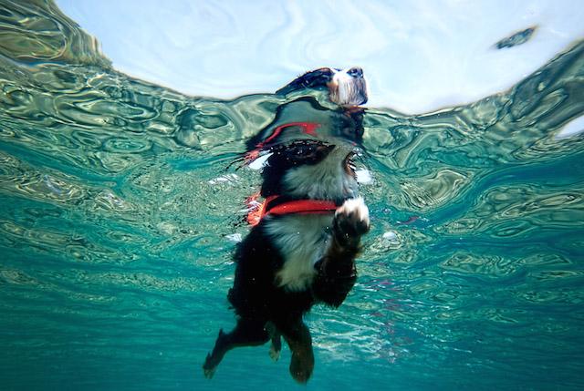 cachorro-nadando-12