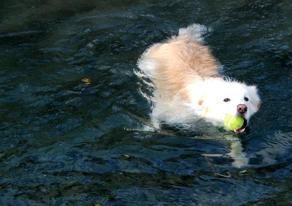 cachorro-nadando-19