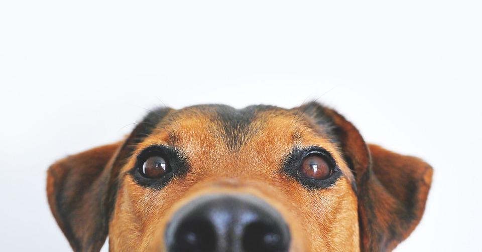 Atrofia Progressiva da Retina em cães
