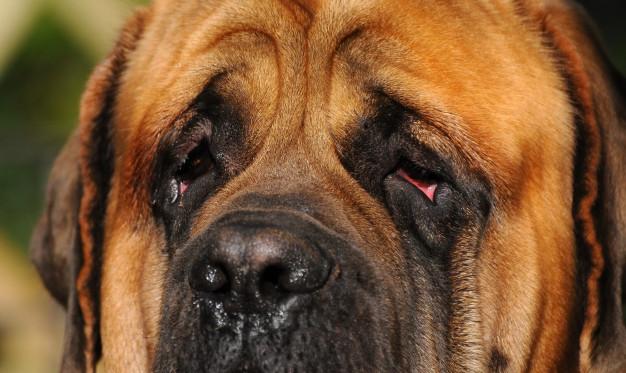 olhos-mastiff