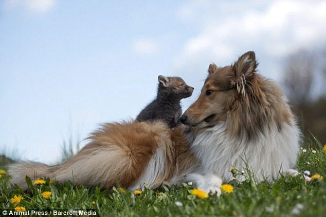 O filhote de raposa e a cachorra se deram muito bem. (Foto: Reprodução / Daily Mail UK)