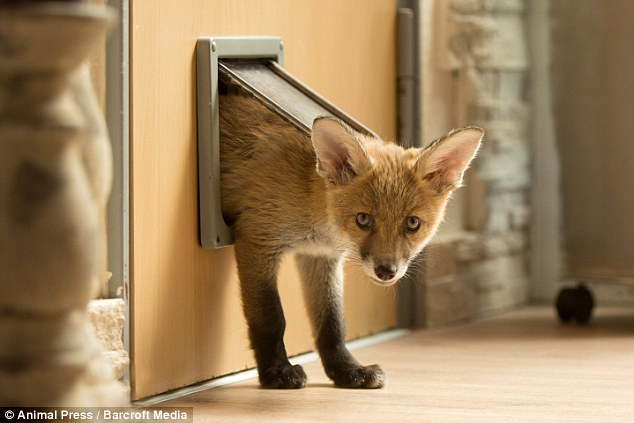 Dinozzo também usa a portinha do Leopold. (Foto: Reprodução / Daily Mail UK)