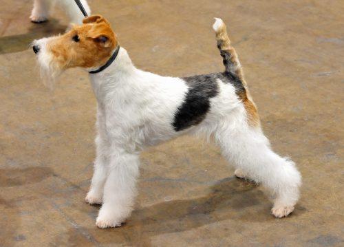 Fox terrier de pelo liso comprar