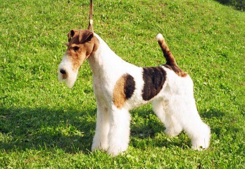 Cuidados cachorro fox terrier pelo liso