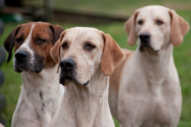 cachorros que são bons farejadores