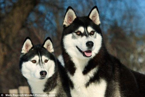 Cães da raça Husky Siberiano. (Foto: Reprodução / Daily Mail UK)