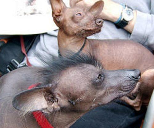 Dois Xoloitzcuintli e o tutor. Foto: Reprodução