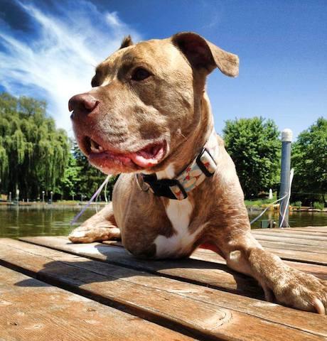 O pit bull Fifty é um exemplo de superação. (Foto: Reprodução / Facebook)