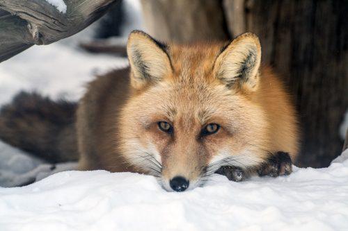 Atualmente, a raposa está assim. (Foto: Reprodução / Go Fund Me)