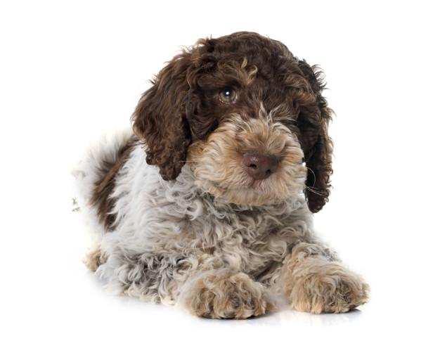 cão de água portuguesa
