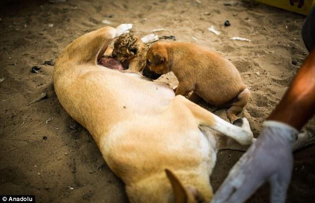 Cachorra amamentando seu próprio filhote e o leãozinho. (Foto: Reprodução / Daily Mail UK)