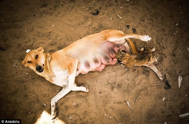 Cachorra amamentando o filhote de leão. (Foto: Reprodução / Daily Mail UK)