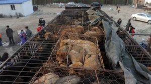 Protetores de animais param um caminhão que carregava 500 cães para o mercado em Beijing. Foto: AFP