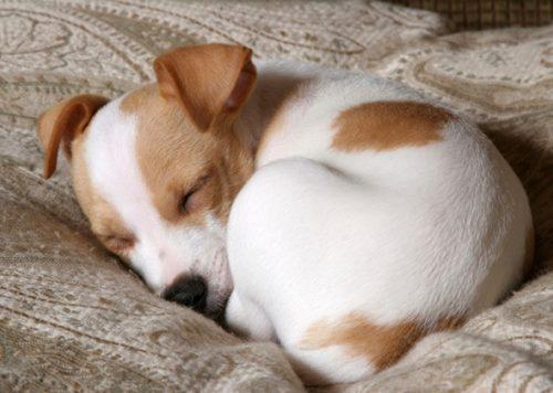 Alguns cães dormem enroladinhos. (Foto: Reprodução / Vetstreet)