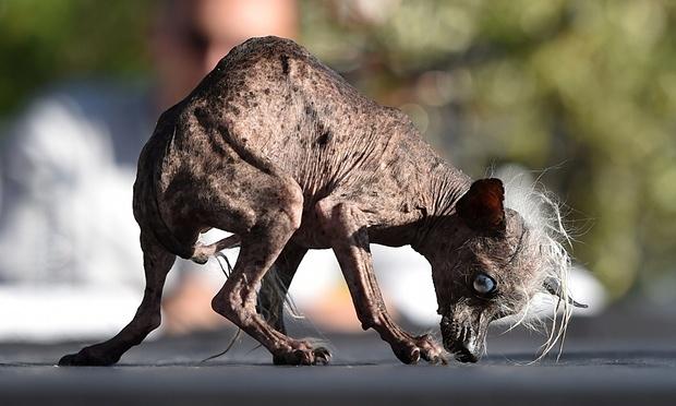 O cão de crista chinês Sweepee Rambo se apresentando aos jurados. (Foto: Reprodução / The Guardian)