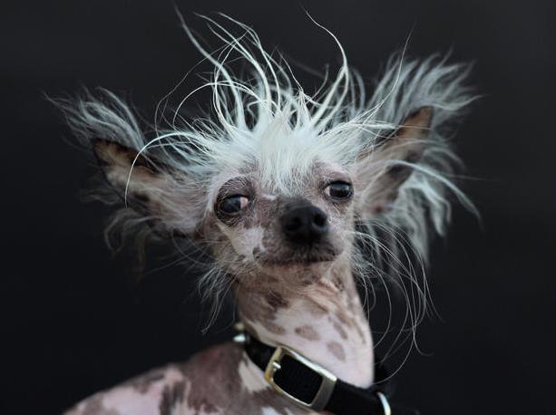 O cão de crista chinês Rascal posando para foto depois do concurso. (Foto: Reprodução / CBS News)