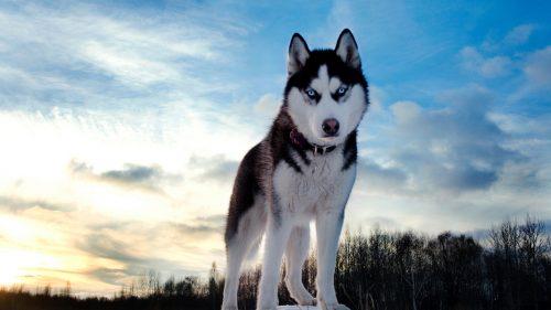 [Image: husky-siberiano-21-500x281.jpg]