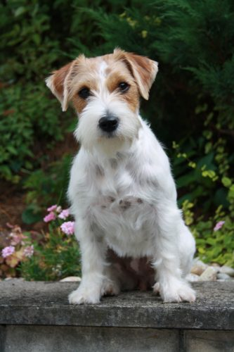 long haired jack russell terrier puppies for sale jack russell terrier portal do dog para quem ama 4276