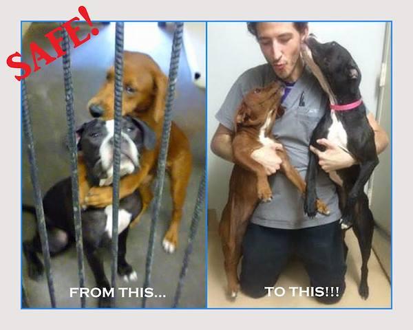 Fotos comparando como as cachorras estavam assustadas no abrigo (esquerda) e como ficaram gratas ao homem que as resgatou (direita). (Foto: Reprodução / Facebook / Angels Among Us Pet Rescue)