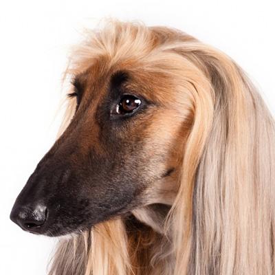afegao-hound