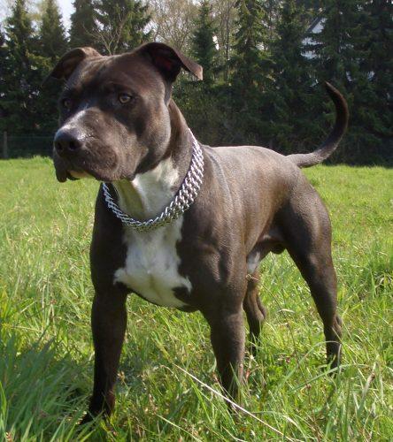 american staffordshire terrier portal do dog para quem ama