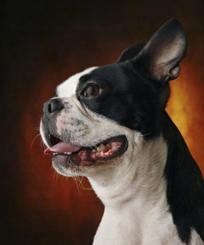 Boston Terrier (Foto: Reprodução / Mom.me)