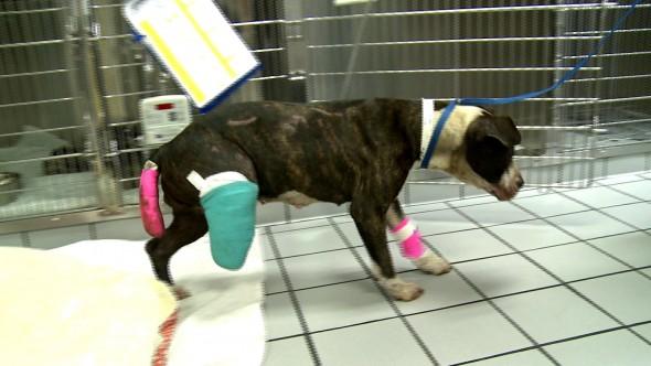 A cachorra está se recuperando. (Foto: Reprodução / Life With Dogs)