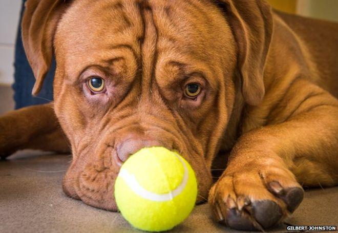 Zeus engoliu uma bola de tênis. (Foto: Reprodução / BBC)
