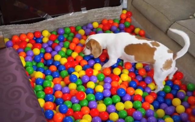 O beagle Maymo e sua piscina de bolinhas. (Foto: Reprodução / Youtube)