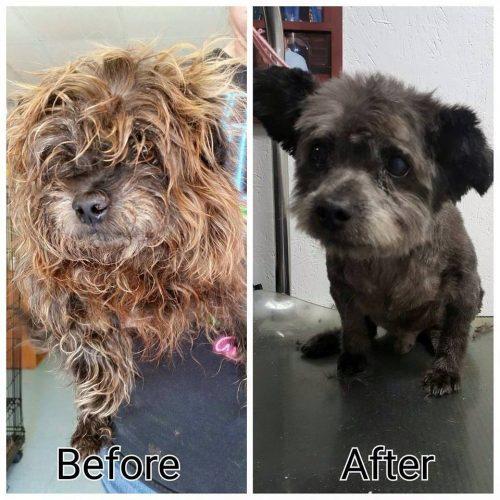 À esquerda é possível ver como Chester foi encontrado e a foto da direita mostra como ele ficou depois de ser tosado. (Foto: Reprodução / Facebook)