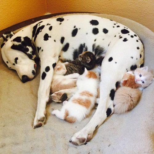 A cachorra Lady cuida dos filhotes como se fossem seus. (Foto: Reprodução / Youtube / Jennifer Pogue)