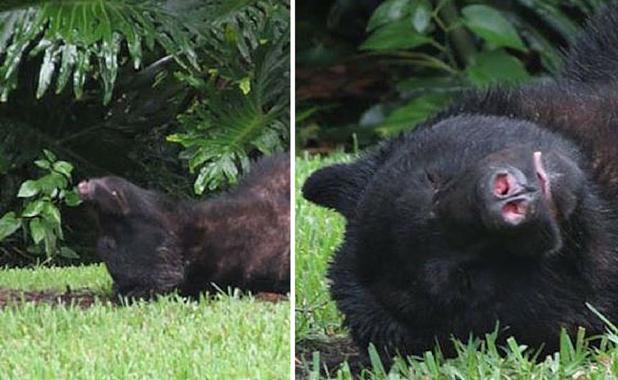 Urso no cochilo. Foto: Reprodução