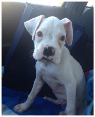 A cachorrinha Semi foi abandonada porque nasceu surda. (Foto: Reprodução / Bark Post)