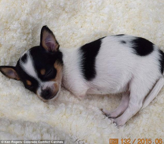 O chihuahua Deuce nasceu apenas com duas patas. (Foto: Reprodução / Daily Mail UK)