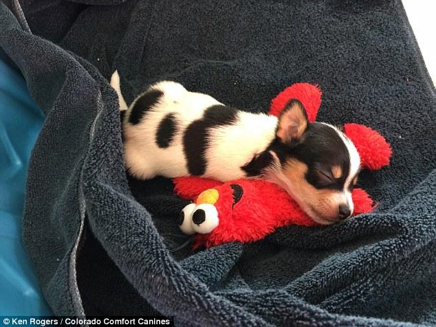 O chihuahua Deuce já está bem adaptado à casa. (Foto: Reprodução / Daily Mail UK)