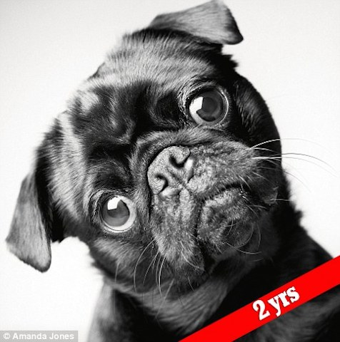 O pug Fred aos dois anos de idade. (Foto: Reprodução / Daily Mail UK)