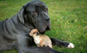 Cães pequenos costumam viver mais tempo do que os grandes. (Foto: Reprodução / Bark Post)