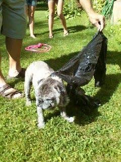 O pug foi jogado na rua dentro de um saco de lixo. (Foto: Reprodução / Facebook / Buffalo Pug & Small Breed Rescue)