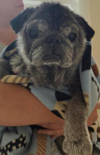 O cão foi acolhido por uma ONG. (Foto: Reprodução / Facebook / Buffalo Pug & Small Breed Rescue)