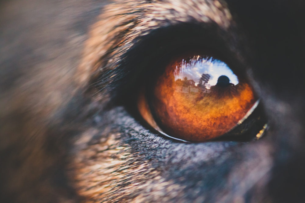 Dog eye close-up macro with reflection
