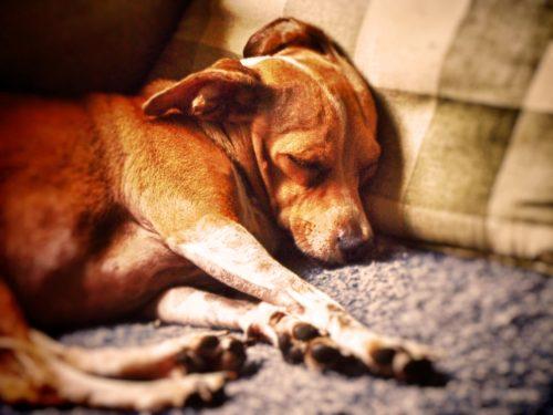 cachorros-cama-dormindo-18