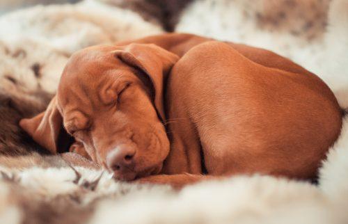 cachorros-cama-dormindo-4