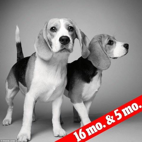 Os beagles Sidney e Savannah com 16 meses e 5 meses, respectivamente. (Foto: Reprodução / Daily Mail UK)