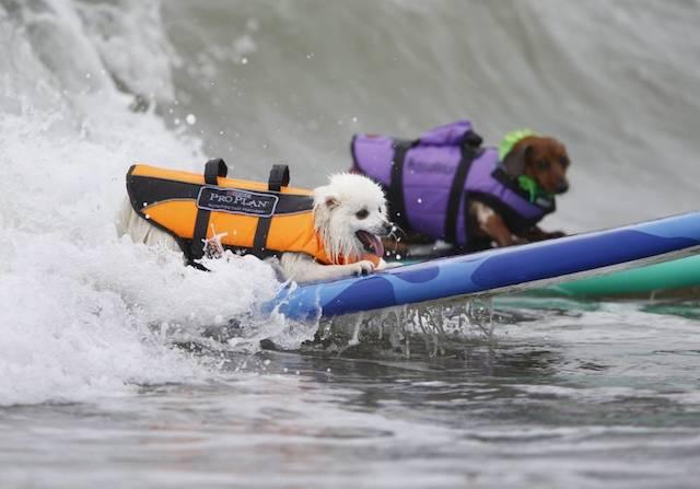 Dois cães surfando a mesma onda. (Foto: Reprodução / Metro UK / REUTERS / Mike Blake)
